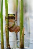 Treefrog fotografia de stock