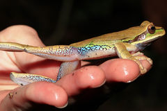 Treefrog Blu-macchiato messicano fotografia stock libera da diritti