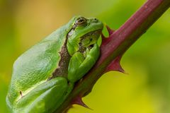 Treefrog Royalty Free Stock Photography