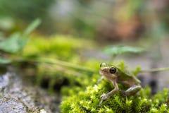 Treefrog cinzento Fotos de Stock Royalty Free