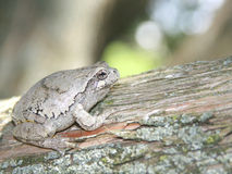 Treefrog cinzento (hyla versicolor) em uma árvore de cedro Fotos de Stock Royalty Free