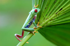 Treefrog con gli occhi rossi (callidryas di Agalychnis) Fotografia Stock Libera da Diritti