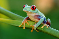 Treefrog con gli occhi rossi (callidryas di Agalychnis) Fotografie Stock