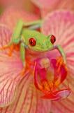 Treefrog con gli occhi rossi (callidryyas di Agalychnis) Immagine Stock Libera da Diritti