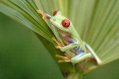 Treefrog con gli occhi rossi (callidryyas di Agalychnis) Immagine Stock