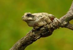 Treefrog Cope серое стоковые фотографии rf