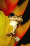 Treefrog cubain se cachant dans un bromeliad Photos stock