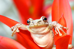 Treefrog cubain traînant dans un bromeliad Image stock