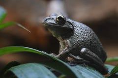 Treefrog cubano Fotografia Stock Libera da Diritti