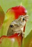 Treefrog cubano que oculta en el bromeliad Foto de archivo libre de regalías