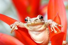 Treefrog cubano que pendura ao redor em um bromeliad Imagem de Stock