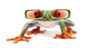 Treefrog de ojos enrojecidos, callidryas de Agalychnis que llevan las gafas de sol fotos de archivo libres de regalías