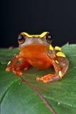 Treefrog del payaso Imagenes de archivo