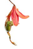 Treefrog die op een bloem beklimt Royalty-vrije Stock Foto's