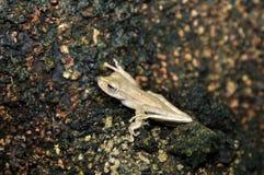 Treefrog en la selva tropical Fotografía de archivo libre de regalías