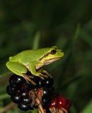Treefrog européen vert se reposant sur la mûre Photographie stock libre de droits