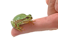 Treefrog on finger Stock Images