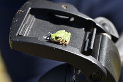 Treefrog. Frog on a tripod for photography Royalty Free Stock Photo