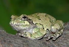 Treefrog grigio fotografia stock