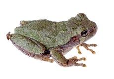 Treefrog grigio orientale, Hyla versicolor fotografia stock