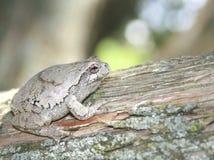Treefrog gris (hyla versicolor) en un árbol de cedro Fotos de archivo libres de regalías
