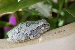Treefrog gris nordique Photos stock