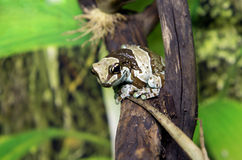 Treefrog Stock Images