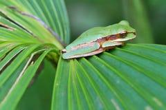 Treefrog mascarado imagem de stock