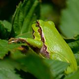 Treefrog. Netherlands frog macro wildlife Royalty Free Stock Image