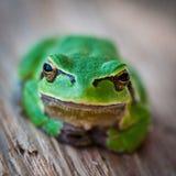 Treefrog no close-up Fotografia de Stock Royalty Free