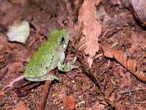 Treefrog Pássaro-expresso (avivoca do Hyla) Foto de Stock Royalty Free