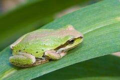 Treefrog pacifico immagine stock libera da diritti