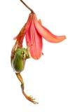 Treefrog que escala em uma flor Fotos de Stock Royalty Free