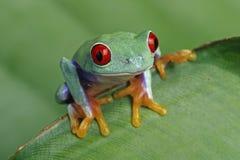 Treefrog Red-eyed fotos de stock