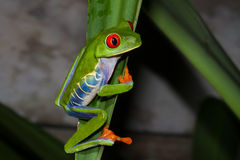 Treefrog Red-eyed imagens de stock royalty free