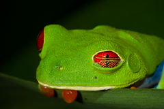 Treefrog Red-eyed fotografia stock libera da diritti