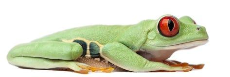 Treefrog Red-eyed, callidryas de Agalychnis fotografía de archivo