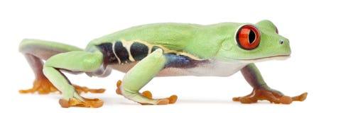 Treefrog Red-eyed, callidryas de Agalychnis fotos de archivo libres de regalías