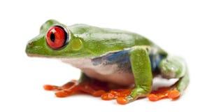 Treefrog Red-eyed, callidryas de Agalychnis foto de archivo