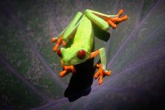 Treefrog Redeyed Fotografie Stock Libere da Diritti