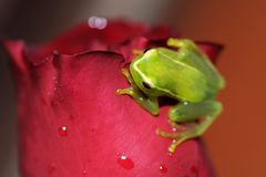 Treefrog on a rose Stock Image