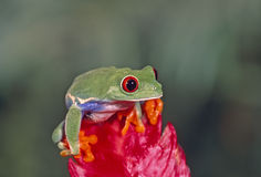 Treefrog rouge d'oeil photographie stock