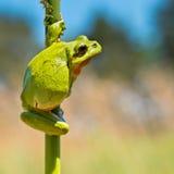 Treefrog sauvage Photos libres de droits