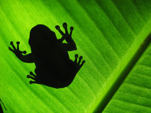 Treefrog silhouette. Tree frog silhouette on a banana leaf Stock Image