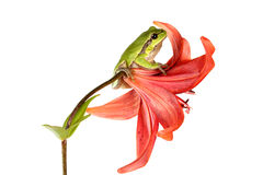Treefrog sur une fleur Images libres de droits