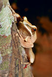Treefrog in tropical amazon jungle royalty free stock images