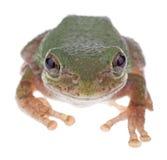 Treefrog verde, Hyla cinerea Foto de archivo libre de regalías