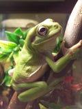 Treefrogs Стоковые Изображения
