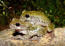 Treefrogs grigio orientale, Hyla versicolor, accoppiamento Fotografia Stock Libera da Diritti