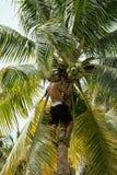 treegathering的椰子的专业登山人 免版税库存照片